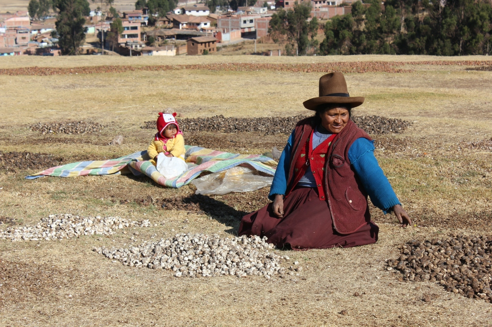 Harvesting potatoes in Chinchero